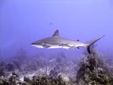 Swimming Shark 14
