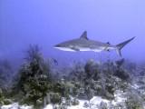 Swimming Shark 15