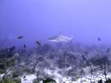 Swimming Shark 16