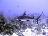 Swimming Shark 17