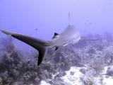 Swimming Shark 18