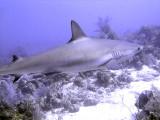 Swimming Shark 19