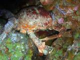 Hiding Crab 2