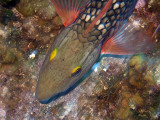 Swimming Stoplight Parrotfish