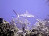 Swimming Shark 20