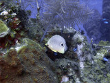 Butterfly Fish and Coral