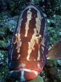 Grouper up Close 5