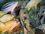 Grunts and a Parrott Fish