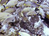 Grunts and a Parrott Fish 2