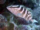 Pale Grouper