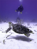 Divers Watching Hawksbill Turtle