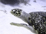 Hawksbill Turtle Close Up 2