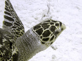Hawksbill Turtle Close Up 4