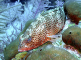 Small Spotted Grouper