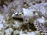 Hawksbill Turtle Close Up 5