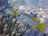 Pair of Schoolmaster Fish 1