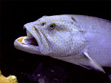Coral Grouper Being Cleaned 3