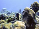 Damsel Fish and Hard Coral