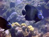 French Angelfish Pair 1