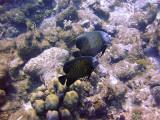 French Angelfish Pair 2