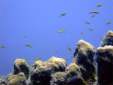 Lots of Cleaner Wrasse