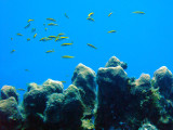 Lots of Cleaner Wrasse 3