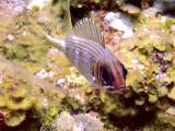 Squirrel Fish Resting 3