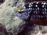 Stoplight Parrotfish Close Up