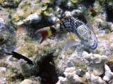 Stoplight Parrotfish Turning