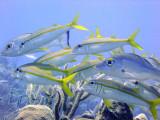Swimming Catfish and Grunts