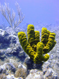 Yellow Barrel Sponge with Soft Coral Tree in Background