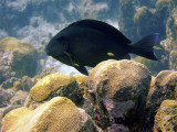 Black Surgeonfish Being Cleaned