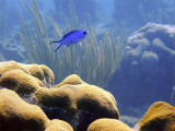 Blue Chromis and Hard Coral