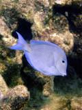 Blue Surgeonfish