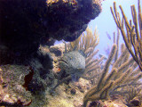 Coral Grouper Hiding.jpg