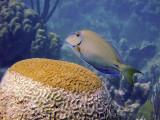 Ocean Surgeonfish  Brain Coral