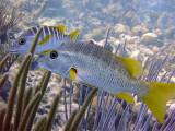 Pair of Schoolmaster Fish 2