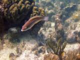 Parrot Fish Turning