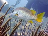 Schoolmaster Fish Waiting