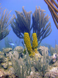 Soft Coral Sponge  Blue Chromis