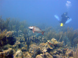 Stoplight Parrotfish and Diver