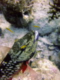Stoplight Parrotfish at Cleaning Station