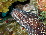 Spotted Moray Up Close 4