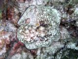 Octopus at Eel Garden 4