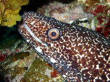 Spotted Moray Up Close