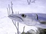 Barracuda Head 11