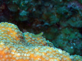 Cleaner Wrasse and Hard Coral