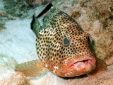 Coral Grouper Being Cleaned 4