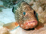 Coral Grouper Being Cleaned 5