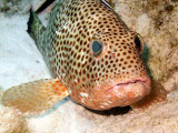 Coral Grouper Being Cleaned 6